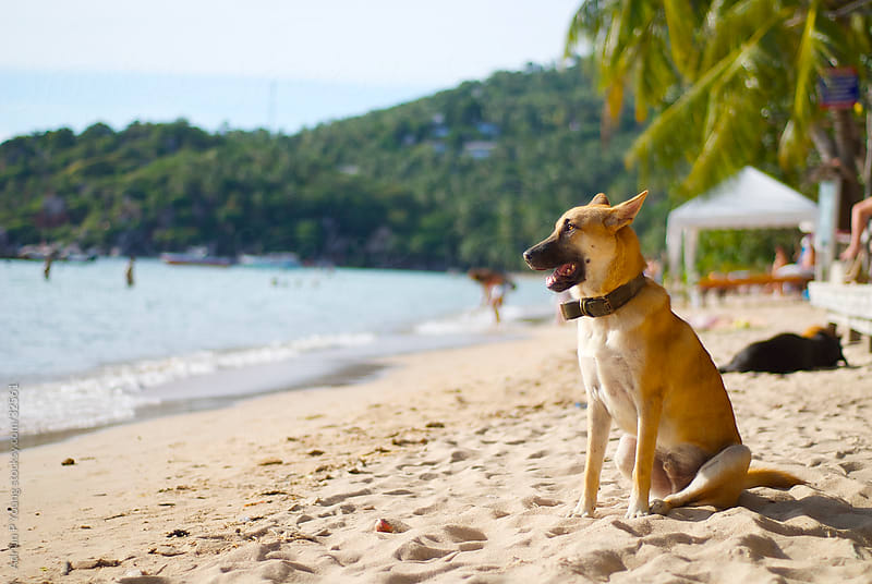 Stray Dog on the Beach by Adrian Young for Stocksy United