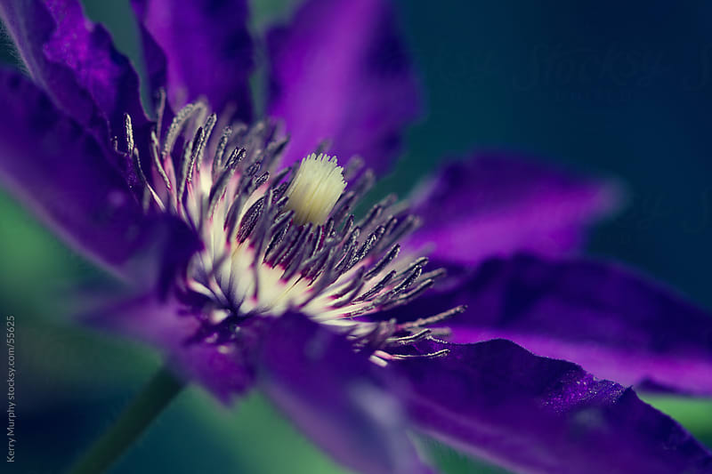 Macro of vibrant purple clematis flower by Kerry Murphy for Stocksy United