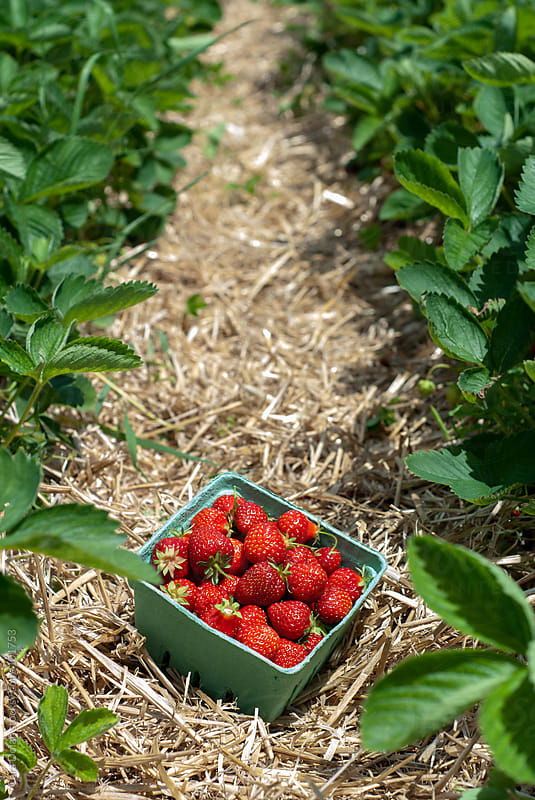 Quart of fresh strawberries in the strawberry patch by Cara Dolan for Stocksy United