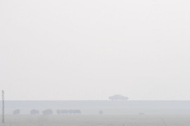 Misty rural lansdcape with sheep and mysterious car by Marcel for Stocksy United