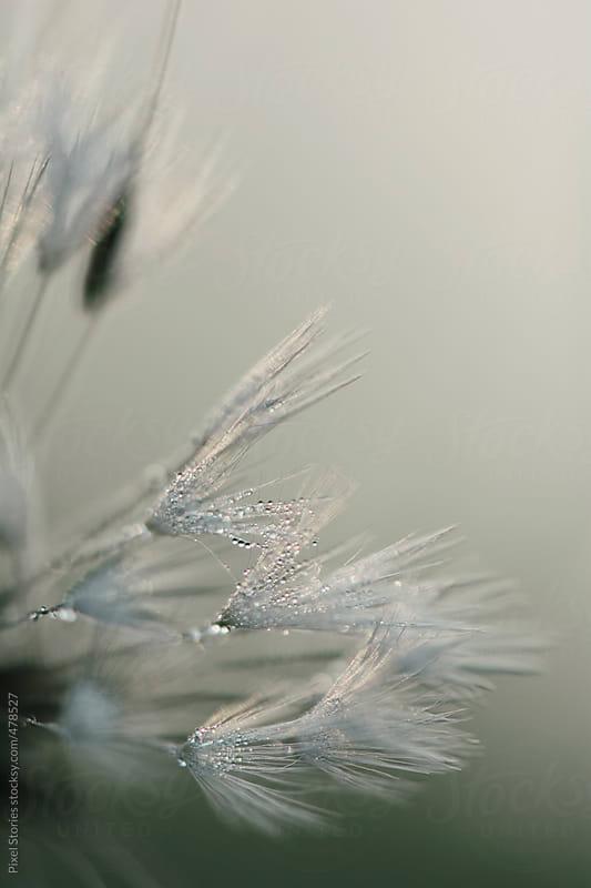 Dandelion seeds macro by Pixel Stories for Stocksy United