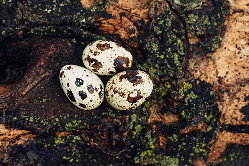 Quail eggs on a log by Gabriel (Gabi) Bucataru for Stocksy United