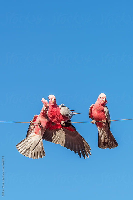 Australian galahs on a wire by Gillian Vann for Stocksy United