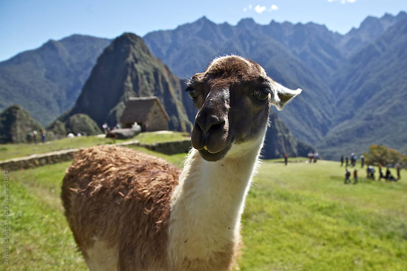 Brown and white Llama staring straight at the camera, Machu Picchu, Unesco World Heritage site, Peru by Jaydene Chapman for Stocksy United