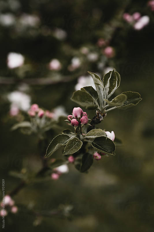 white blossoms on tree with dark background by Nicole Mason for Stocksy United