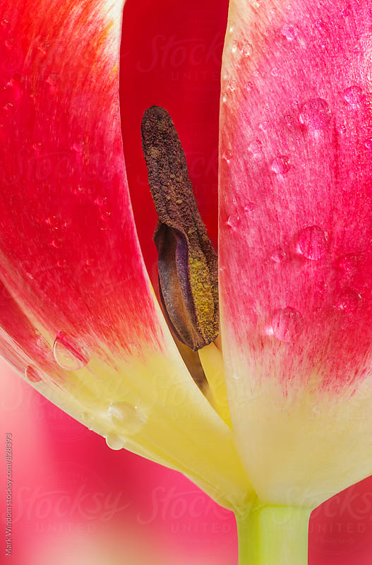 Tulip and Raindrops by Mark Windom for Stocksy United