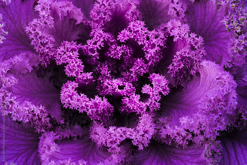 frilly purple kale from above by Deirdre Malfatto for Stocksy United