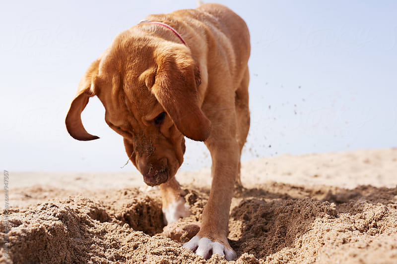Close-up of dog digging sand by Guille Faingold for Stocksy United
