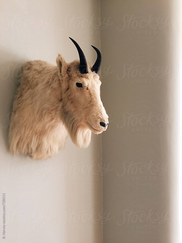 Mountain Goat mounted on wall by B. Harvey for Stocksy United