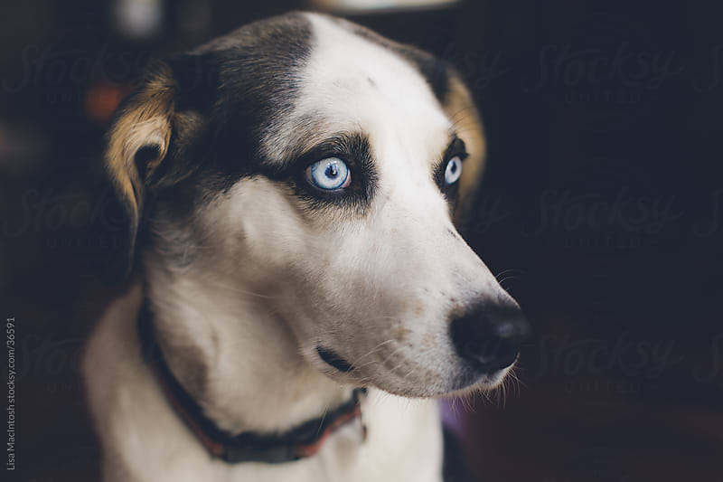 husky beagle cross dog with blue eyes looking towards window by Lisa MacIntosh for Stocksy United