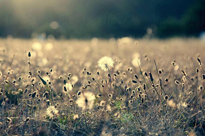 Field of dandelions at dusk - light shining through them by Carolyn Lagattuta for Stocksy United