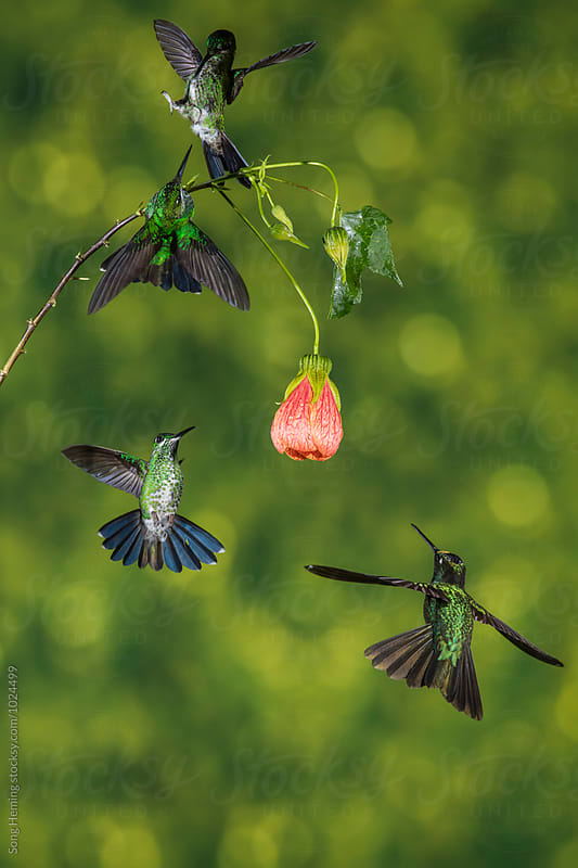 Four hummingbirds fighting for the best flower by Song Heming for Stocksy United