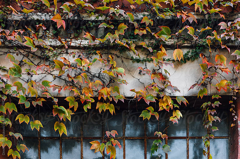 Old abandoned building facade covered with colorful leaves by Dimitrije Tanaskovic for Stocksy United