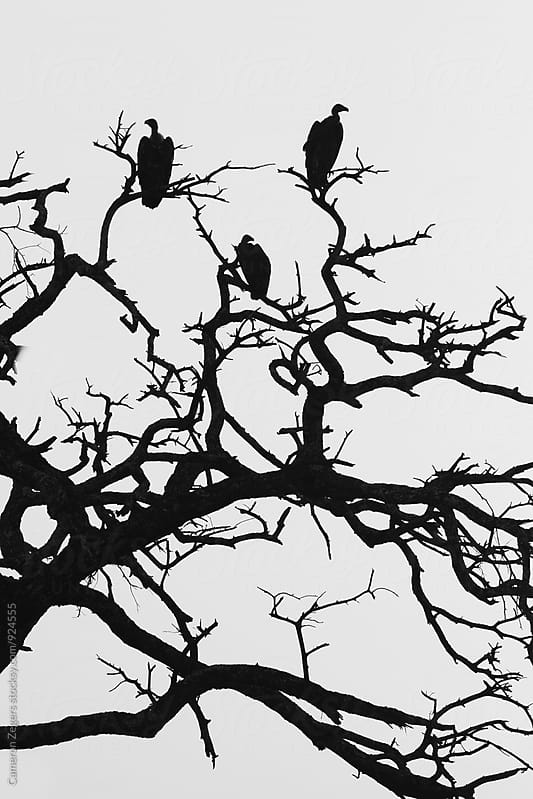vultures in dead tree by Cameron Zegers for Stocksy United