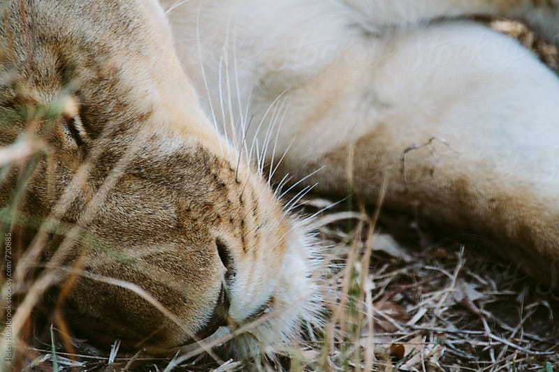 Close-up of a sleeping lioness  by Helen Rushbrook for Stocksy United