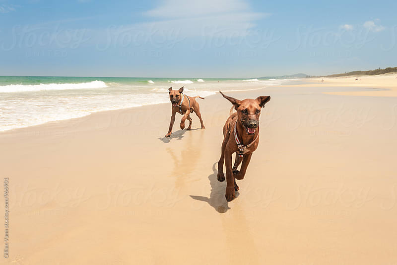 2 dogs running at the beach, one with ears flapping in the air by Gillian Vann for Stocksy United