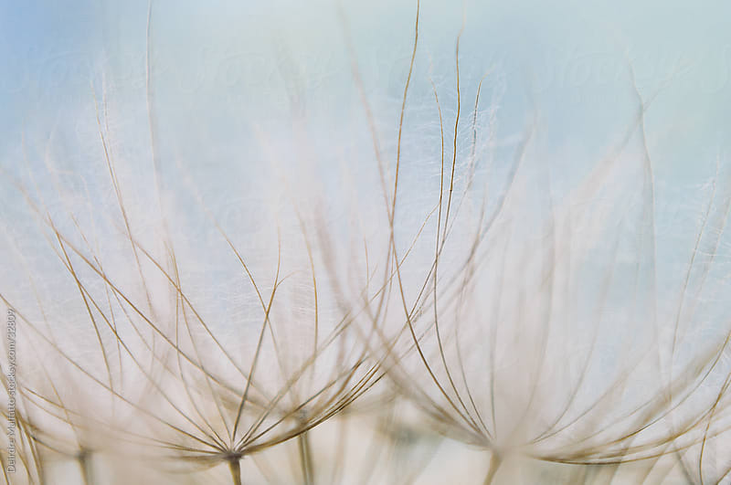 Close-up of the Seed Head of a Salsify Plant by Deirdre Malfatto for Stocksy United