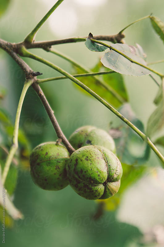 unripe nuts hanging from a hickory tree by Deirdre Malfatto for Stocksy United