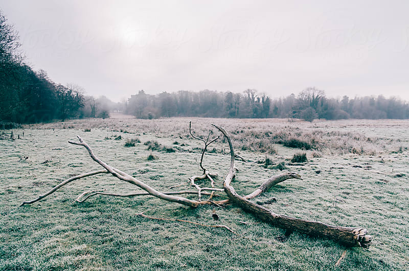 Tree in a rural field covered in frost. Norfolk, UK. by Liam Grant for Stocksy United
