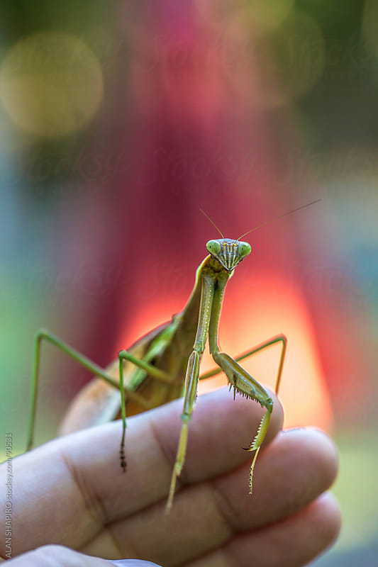 Praying mantis on a hand by ALAN SHAPIRO for Stocksy United