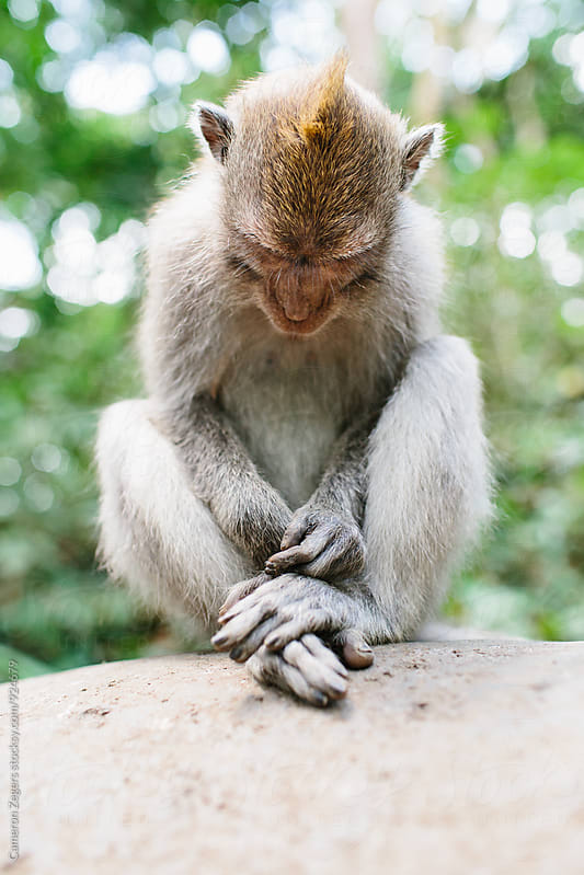 sitting monkey looking down by Cameron Zegers for Stocksy United