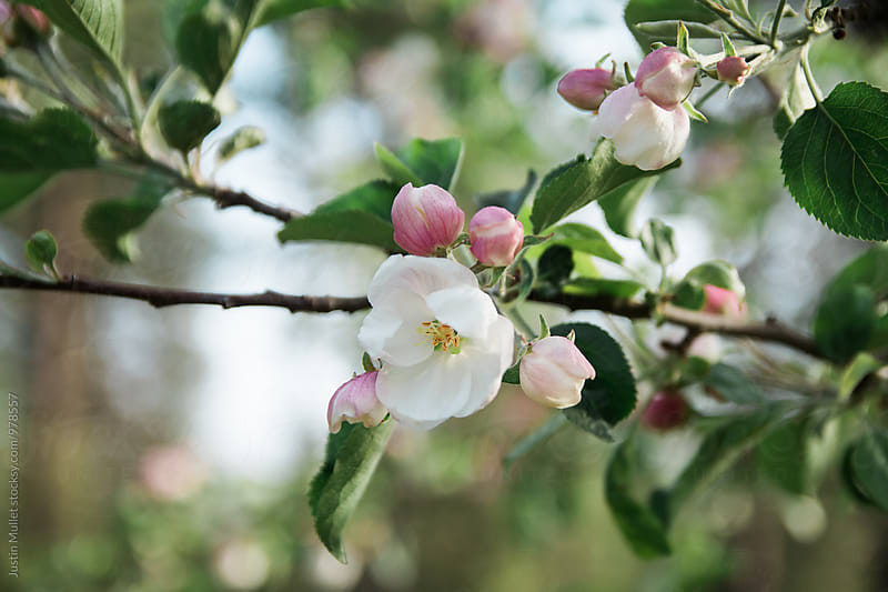 White and Pink Apple  Blossoms by Justin Mullet for Stocksy United