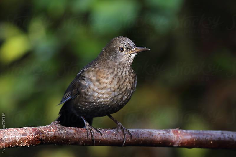 Female eurasian blackbird on a branch by Marcel for Stocksy United