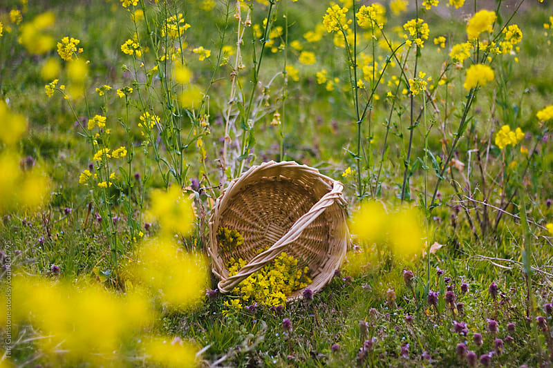 Basket with yellow flowers in meadow by Tari Gunstone for Stocksy United