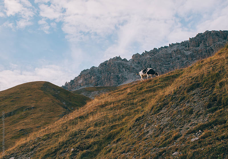 Cow on top of the mountain in Stelvio National Park. by Davide Illini for Stocksy United
