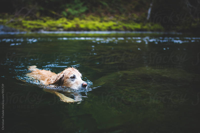 Golden retriever swimming in an emerald green creek by Christian Tisdale for Stocksy United