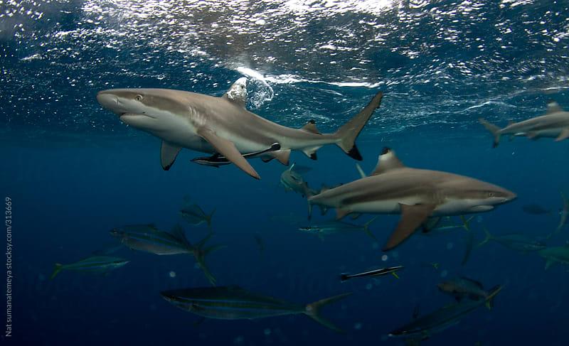 black tip reef shark by Nat sumanatemeya for Stocksy United