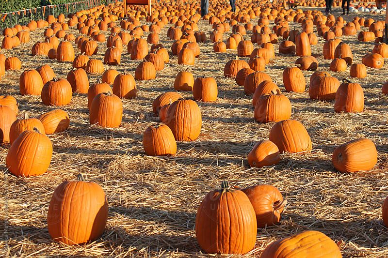 Lots of pumpkins at the Pumpkin Patch by Monica Murphy for Stocksy United