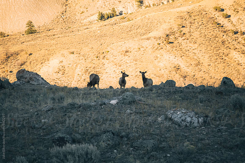 Elk in Yellowstone National Park by Jake Elko for Stocksy United