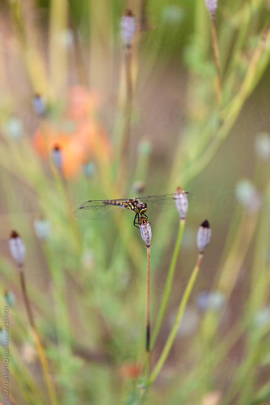 Dragonfly on poppy seedhead by ALAN SHAPIRO for Stocksy United
