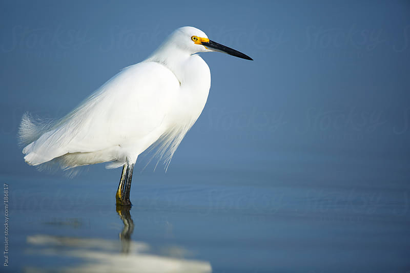 Snowy Egret by Paul Tessier for Stocksy United