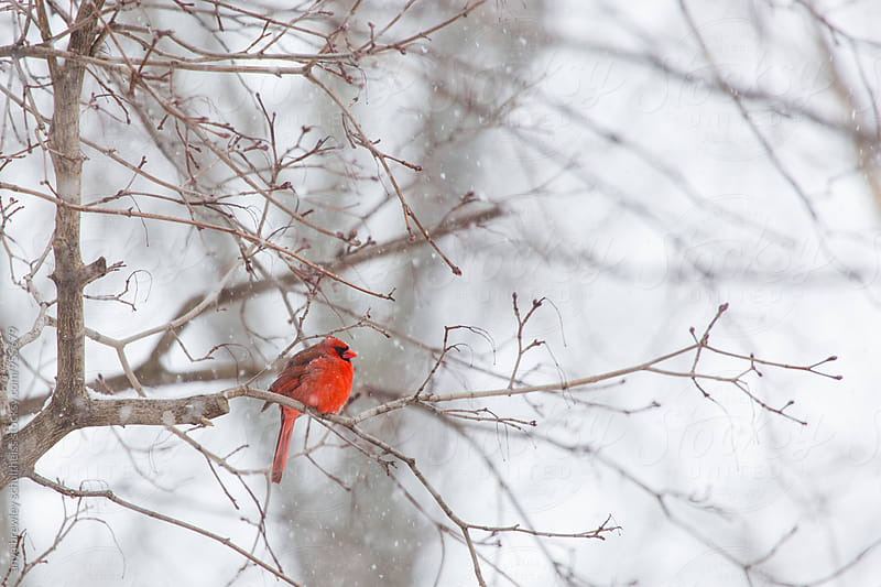 Bright red male Cardinal sitting on a winter branch while it is snowing around him by anya brewley schultheiss for Stocksy United