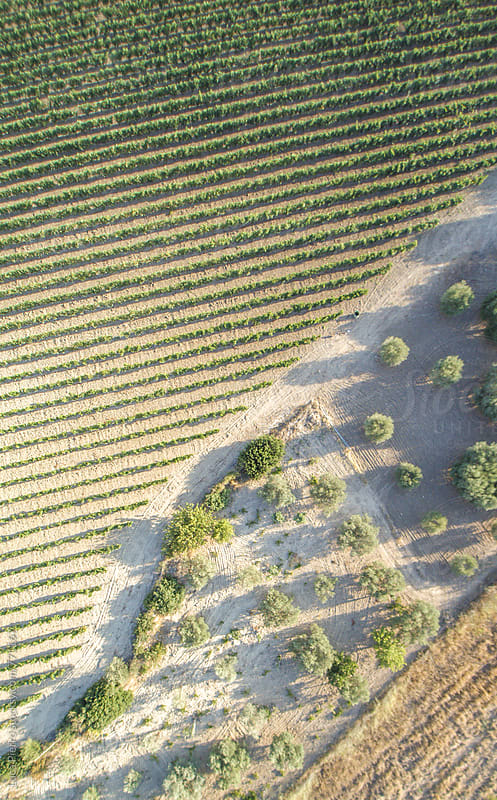 Vineyard at sunset, aerial view by Luca Pierro for Stocksy United