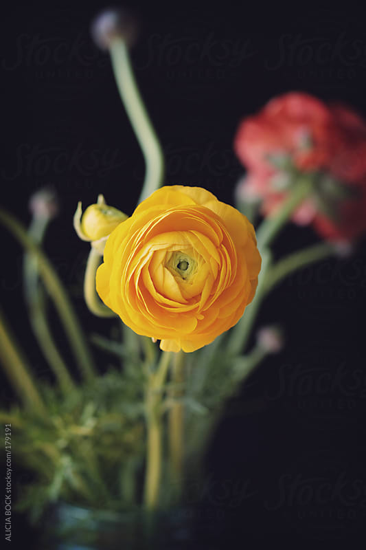 Yellow Ranunculus Against A Black Background by ALICIA BOCK for Stocksy United
