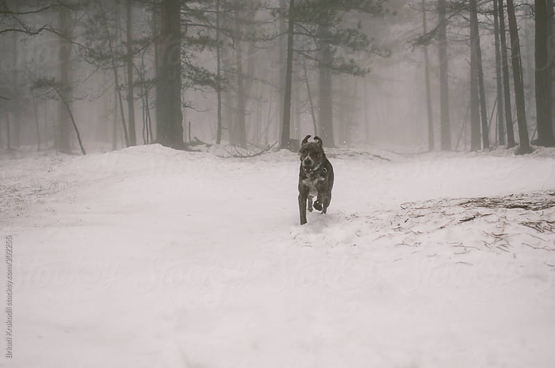Dog running through the snow by Brkati Krokodil for Stocksy United
