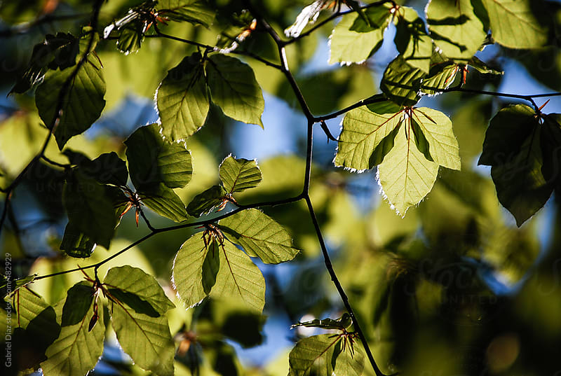 Green leaves with sun ray by Gabriel Diaz for Stocksy United