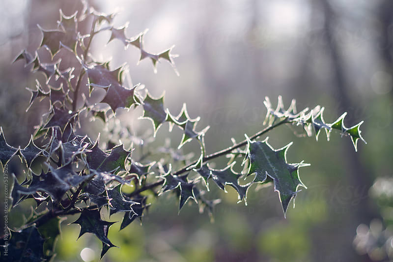 Frosted Holly leaves. by Helen Rushbrook for Stocksy United