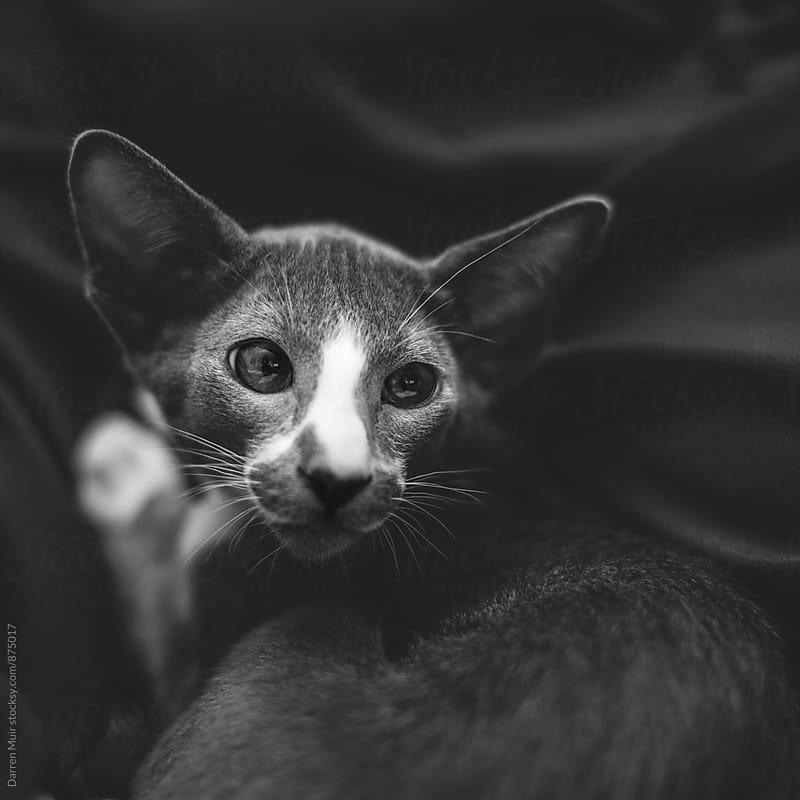 Beautiful short hair oriental cat. by Darren Muir for Stocksy United