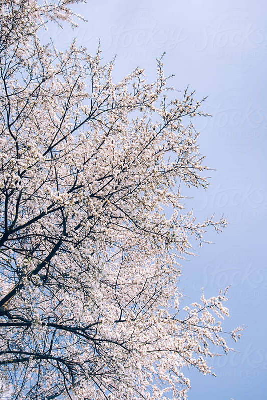 Spring fresh apple blooming tree by Ilya for Stocksy United
