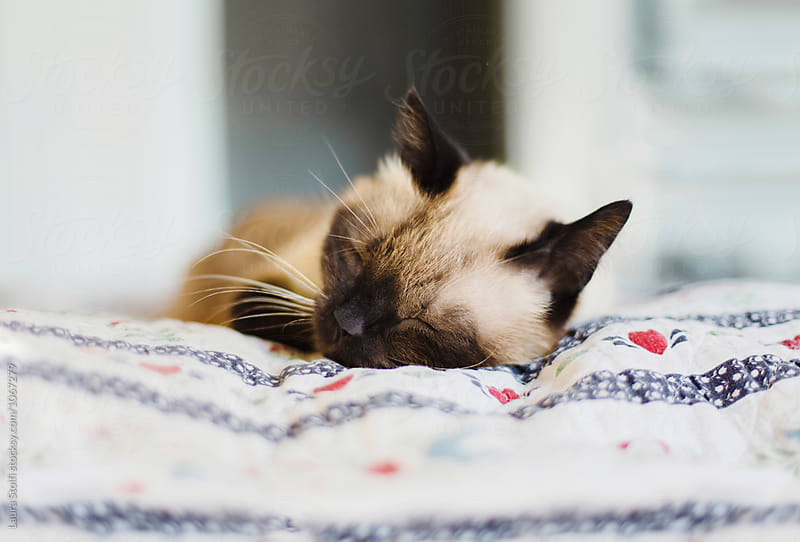 Close up of happy cat sleeping with pleasure on cotton quilt by Laura Stolfi for Stocksy United