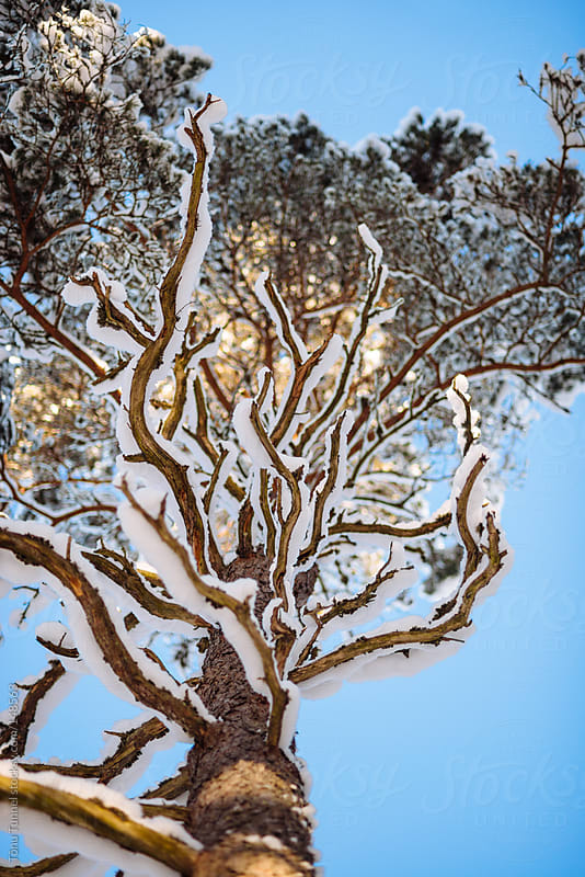 A snow covered pine-tree from below by Tõnu Tunnel for Stocksy United