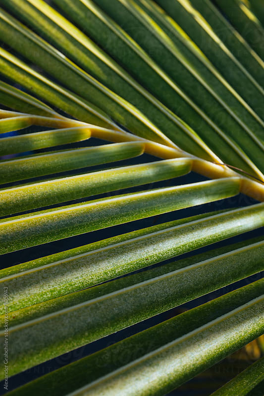 Tropical Palm Leaf by Alexander Grabchilev for Stocksy United