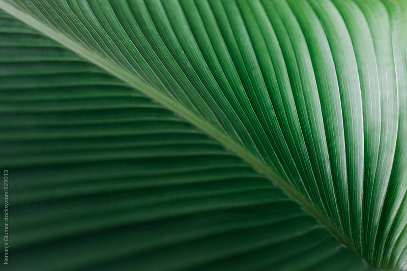 Gentle Flesh of Dark Green Leaf by Nemanja Glumac for Stocksy United