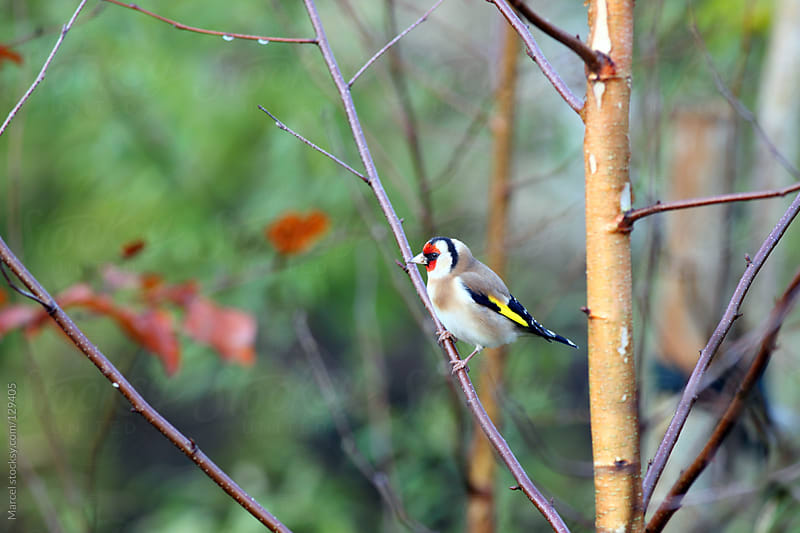 European goldfinch by Marcel for Stocksy United