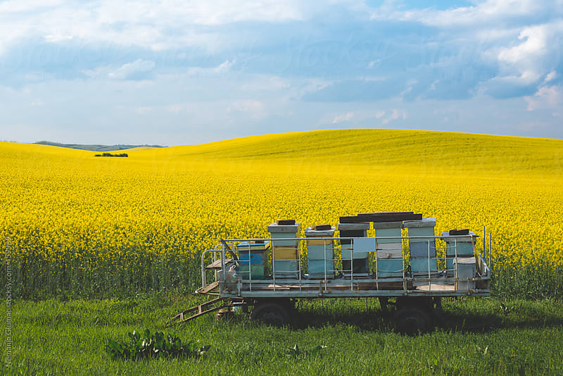 Cart With Bee Hive Boxes in the Rapeseed Field by Nemanja Glumac for Stocksy United