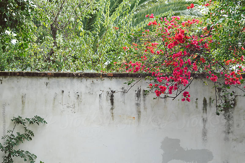 Flowers bloom outside wall of yard by Maa Hoo for Stocksy United